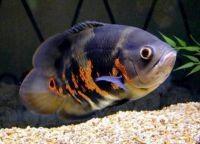 Рыбы для аквариума22