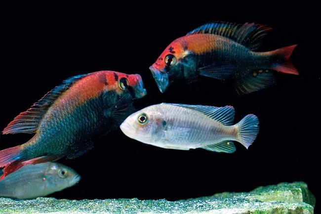 Хаплохромисы хищные рыбки.