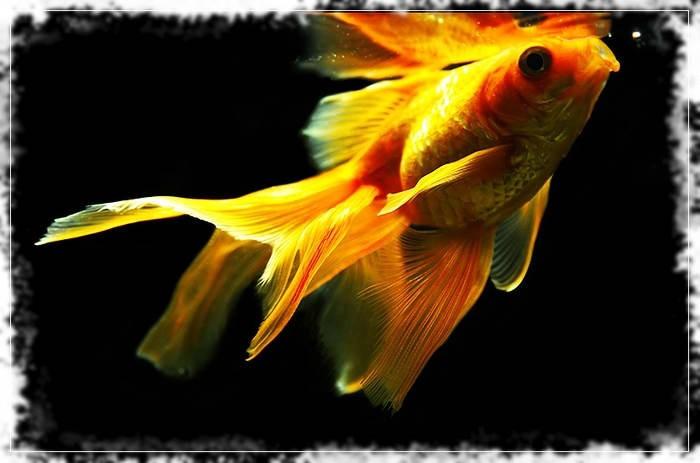 популярные золотые рыбки
