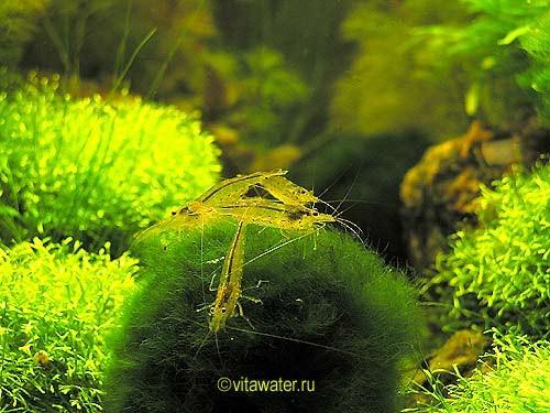 Японская прудовая креветка