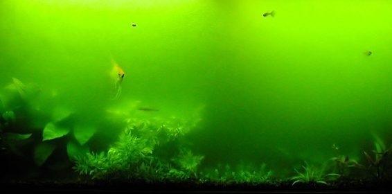 зеленые водоросли в аквариуме