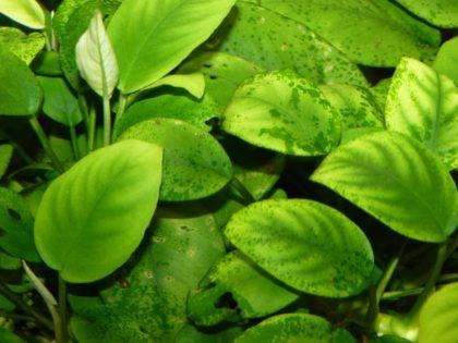 Болезни аквариумных растений2