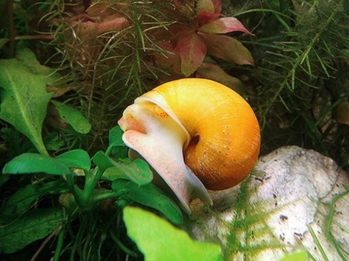Чем питается аквариумная улитка