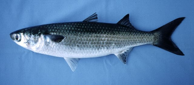 кефаль рыба фото