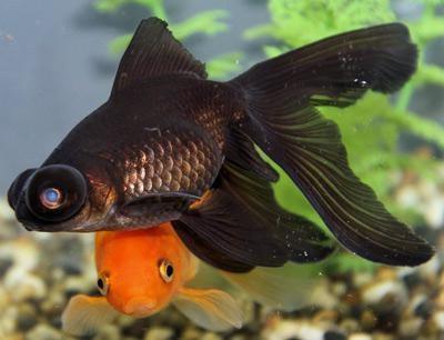 рыба черная с красным хвостом