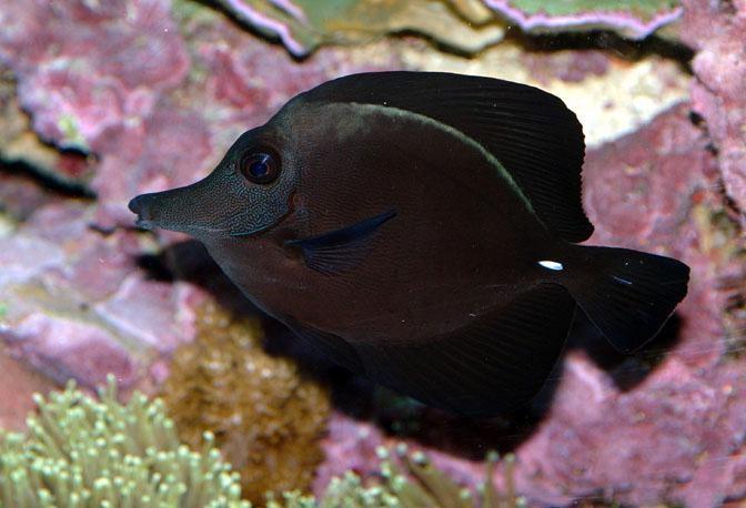 рыба черная с оранжевыми пятнами