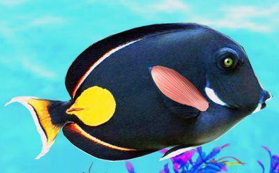 рыба черная аквариумная