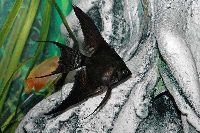 рыба черная дори
