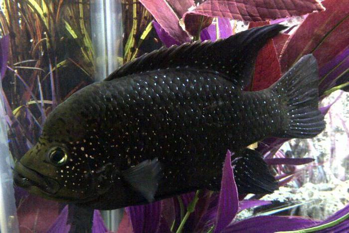 рыба черная фото