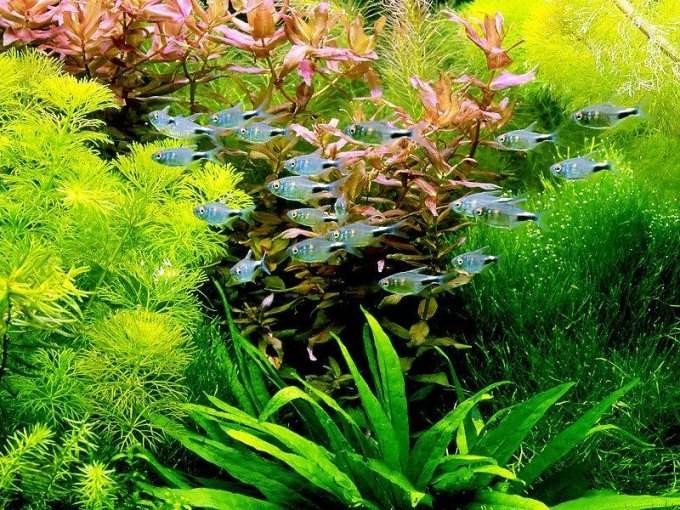 надводные водоросли для аквариума