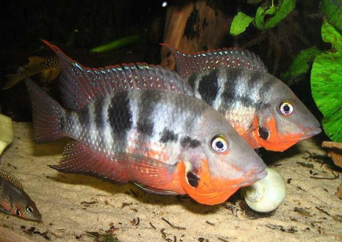 аквариумные рыбки цихлиды фото