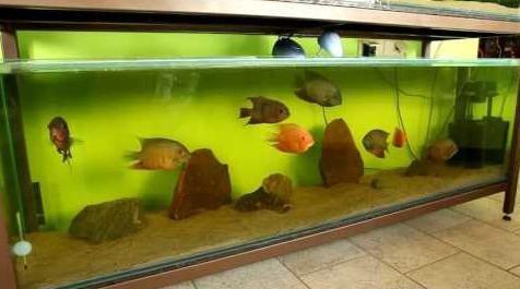 аквариумные рыбки цихлиды содержание