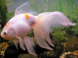 вуалехвостые аквариумные рыбки