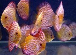 Дискусы – совместимость с другими рыбами