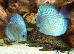 Дискусы – совместимость с другими рыбами1