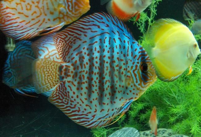 Дискусы в домашних аквариумах.