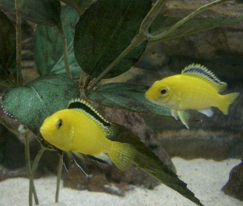 Либидохромис еллоу -самец и самка