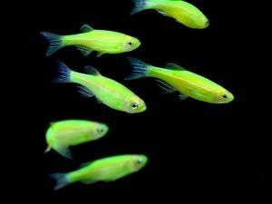 Светящиеся рыбки