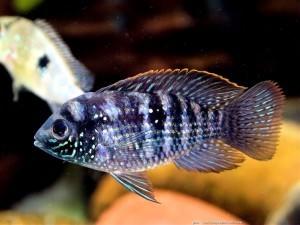 Аквариумные рыбки акары