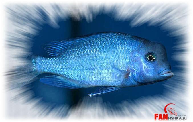рыбка синего цвета