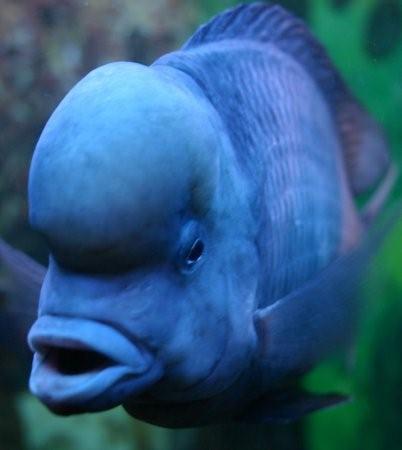 Голубой дельфин: содержание, совместимость, разведение, фото-видео обзор
