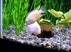 Цихлазома фламинго в аквариуме