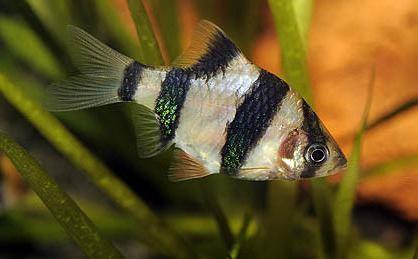 совместимость барбусов с другими рыбами