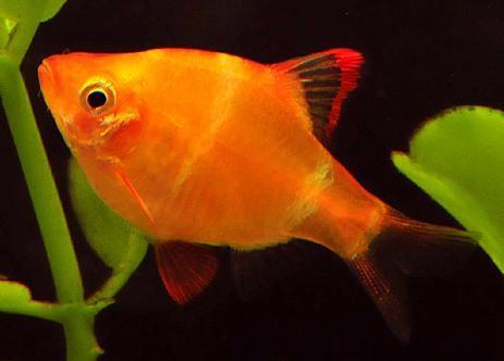 рыбка барбус совместимость