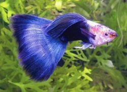 Какие рыбки уживаются с гуппи1