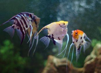 Какие рыбки уживаются с гуппи2
