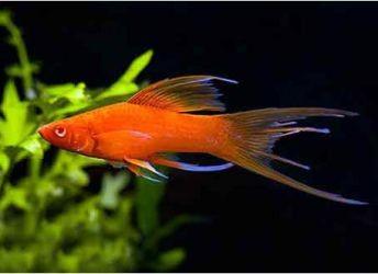 Какие рыбки уживаются с гуппи3