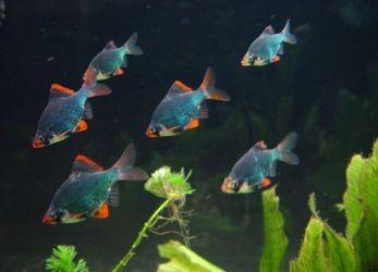 Какие рыбки уживаются с гуппи4