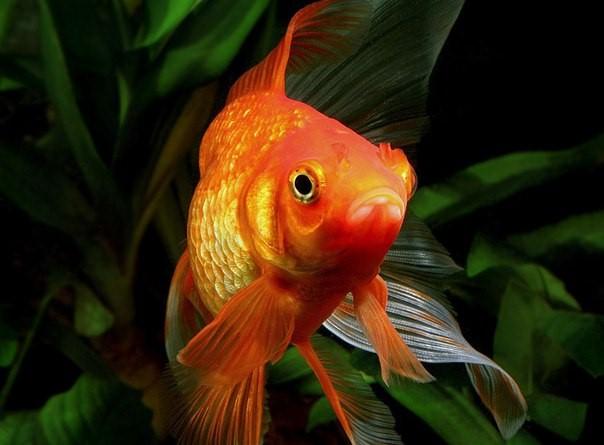 Какие рыбки уживаются с гуппи5