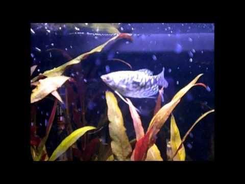 аквариумная рыбка гурами мраморный