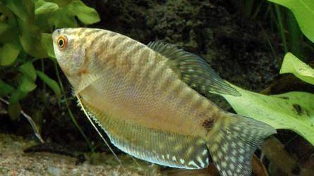 с какими рыбками уживаются гурами
