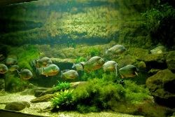 аквариумные хищные рыбки