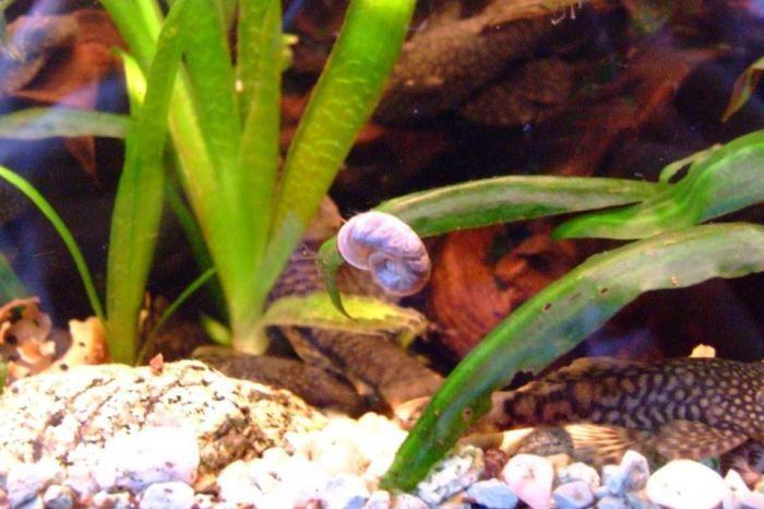 к чему снятся улитки в аквариуме