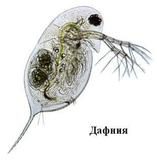 дафния живой корм для рыб