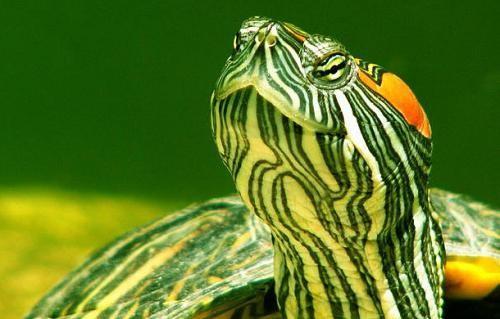 водяные черепахи в домашних условиях