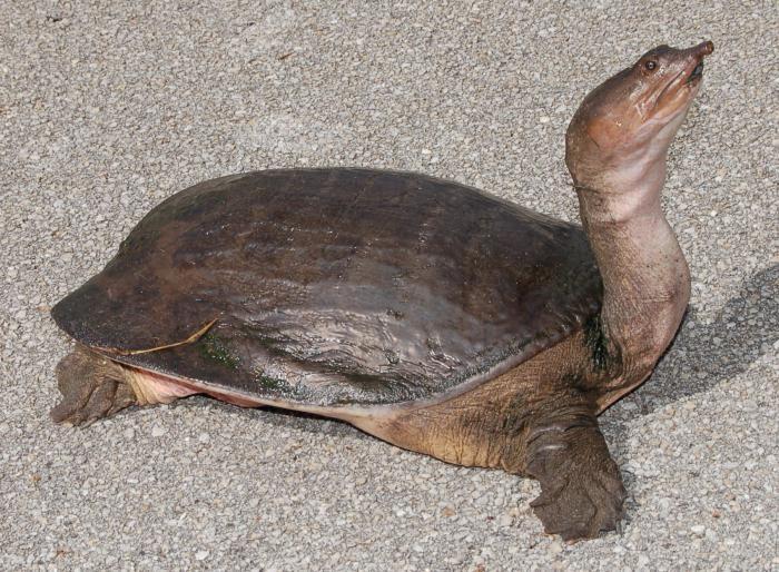 чем кормить водяных черепах в домашних условиях