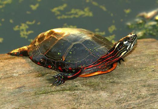 водяная красноухая черепаха в домашних условиях
