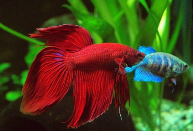 Красный аквариумный петушок.