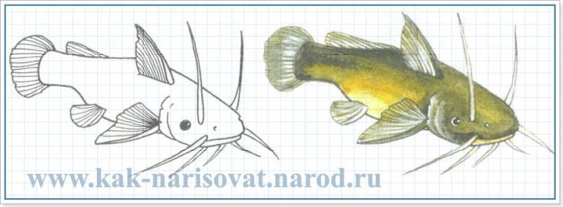 Как рисовать рыб (сома)