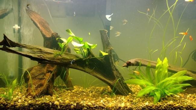 Коряги в домашнем аквариуме