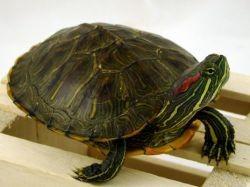 аквариум для красноухой черепахи 1