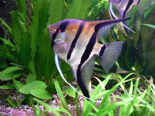 рыбы чёрные полосы по бокам