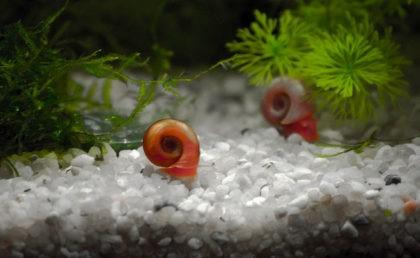 katushka-rogovaya-krasnaya-v-akvariume