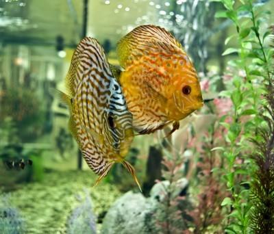 Как запустить рыб в аквариум