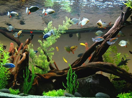 аквариум с корягой