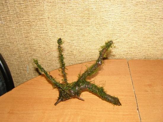 коряга и мох